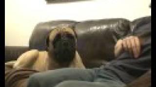Bailey the Bullmastiff