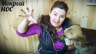 """Как НАКАЗЫВАТЬ собаку: прием """"УКУС РУКОЙ"""". Мокрый нос немецкая овчарка"""