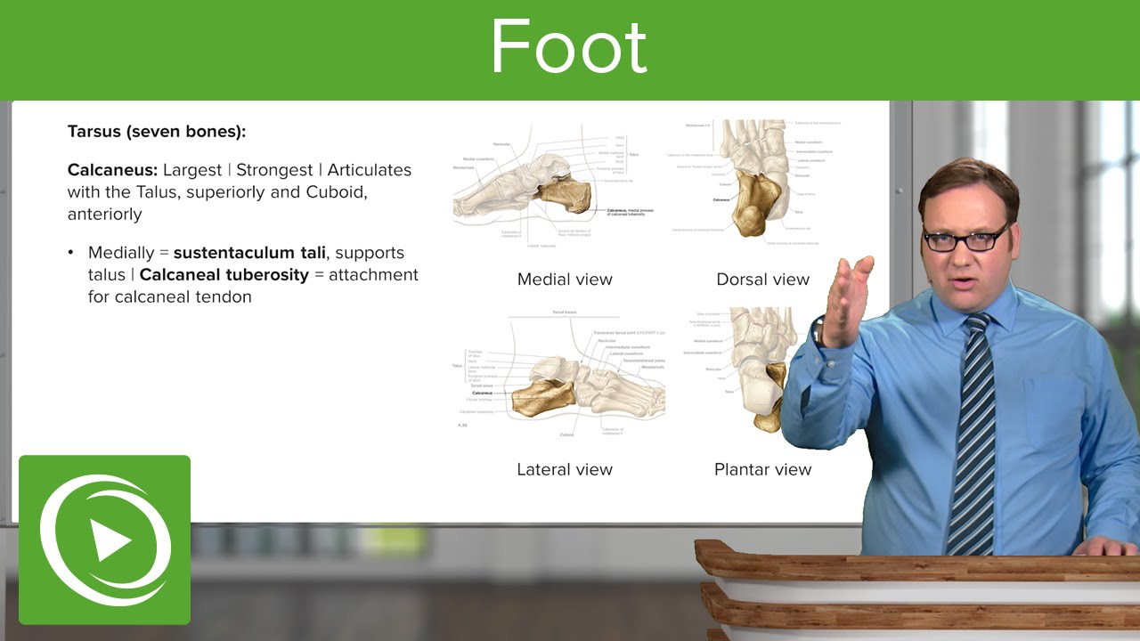 Anatomy of the Foot: Calcaneus, Navicular & Cuboid – Anatomy | Lecturio
