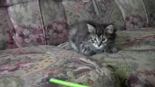 #3 Курильский бобтейл , окрас-черная тигровая, кошечка Цессна (BOBBY TAIL'S Tsessna)