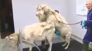 Размножение козочек на ферме в Германиии