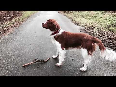 Arvin the Welsh Springer Spaniel