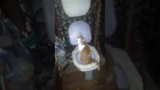 Кот срет в туалет на унитаз