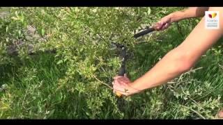 видео Ива цельнолистная: особенности выращивания и применение в ландшафтном дизайне