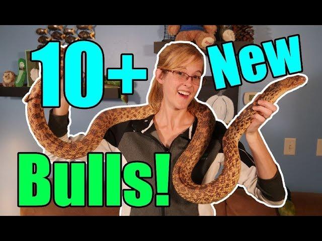 meet-our-new-bullsnake-morphs