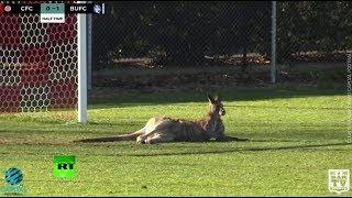 RAW: Pitch-invading kangaroo stops Aussie soccer match