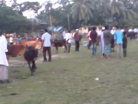 Download cow hat bd