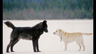 愛犬が野生のオオカミに近づいて行ってしまった。パニックになる飼い主...