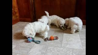 Bichon Frise Puppies For Sale Aquilla & Leah Blank