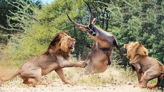 Wild Animals Fighting - Lion vs Waterbuck -  Moments Of Wild Animal Fights thumbnail
