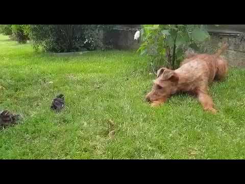 Irish Terrier und kleine Freunde