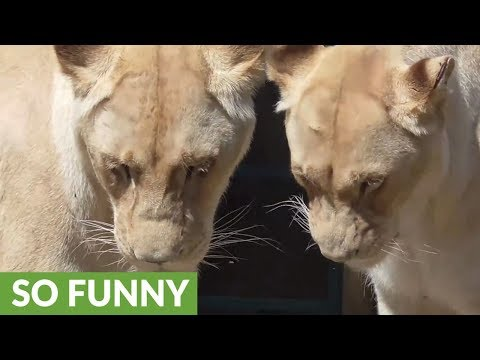 White lioness shocked by male lion's advance