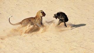 ヒョウ攻撃ヒヒは死ぬ - 動物の世界 - 最高の攻撃 2016