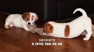 Замечательные щенки джек-рассел-терьера, питомник Леге-Артис