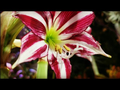 """FRAGRANT"" Amaryllis Update! Amaryllis Santiago Worth The Hype? Amaryllis Care"