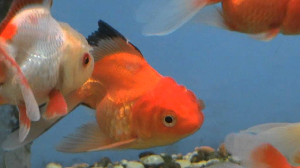Large mixed oranda fancy goldfish for sale at tyne valley for Gold fish for sale