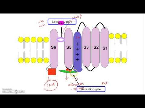 Voltage Gated Sodium Channel: molecular mechanism of gating