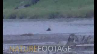 bear kills elk in water.avi