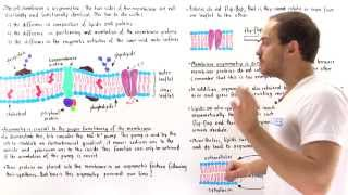 Asymmetry of Cell Membrane