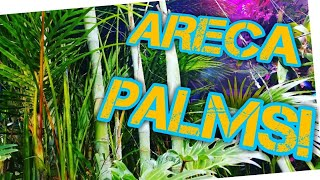 ARECA PALM TREE CARE! All About The Spectacular Dypsis Lutescens!