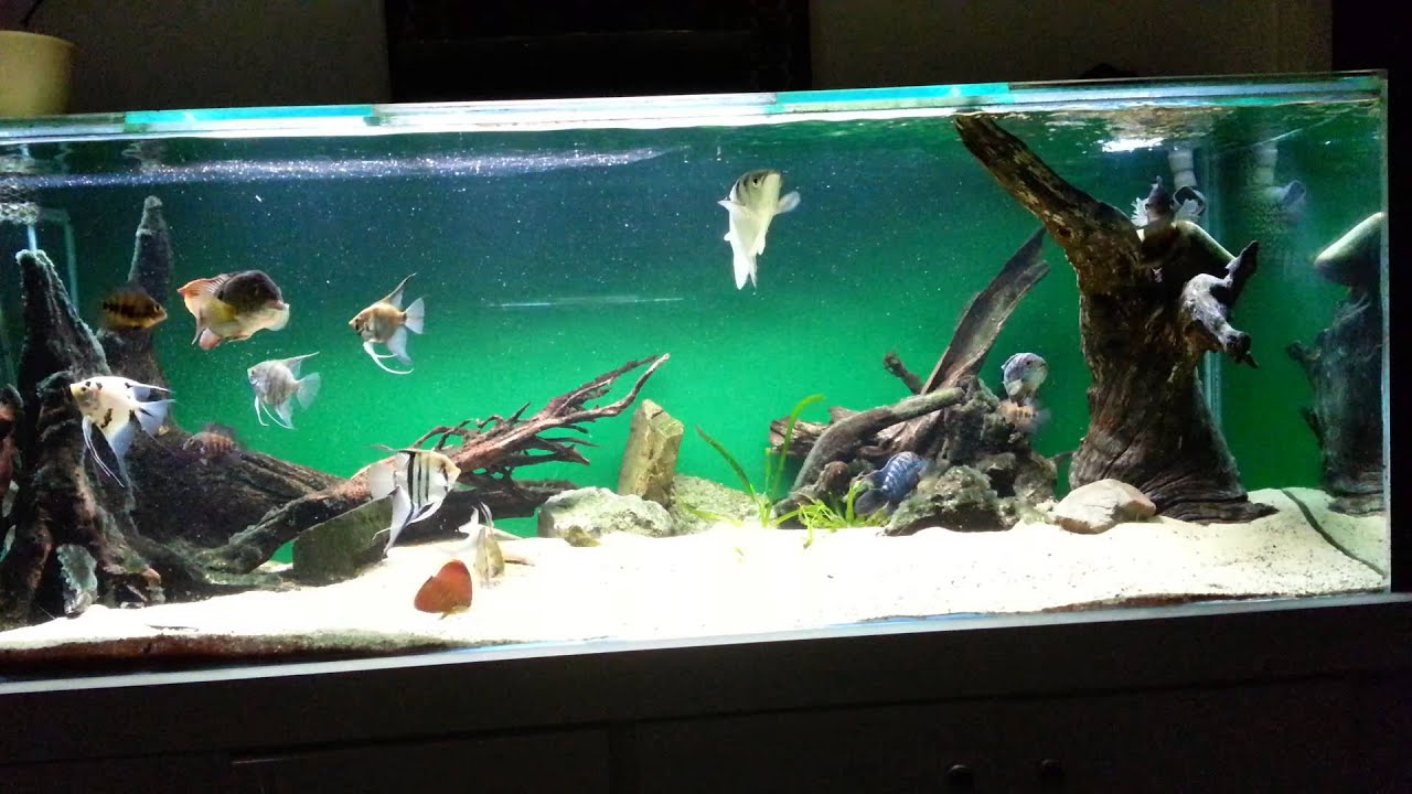 600 Litre Neotropical Cichlid Aquarium Feeding Youtube
