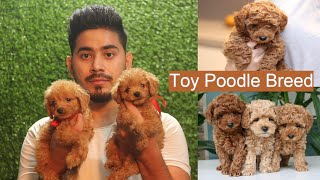 TOY POODLE PUPPY | Cute Toy Poodles | Mini size in First time in India | Best Breeder of Toy Breed