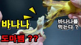 바나나 먹는 도마뱀 !? 파충류가 과일을 먹는게 가능한…