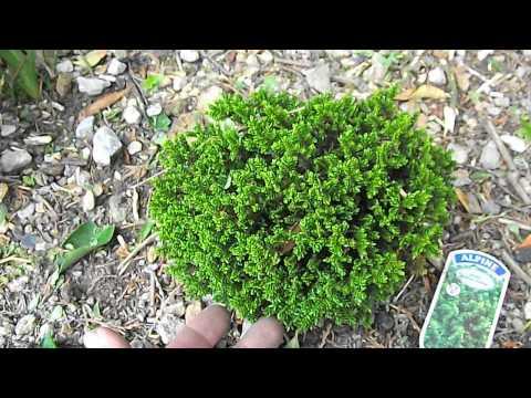 Hebe 'Green Globe' by Wheal Busy Ecology Garden 06June2014 DSCF5112