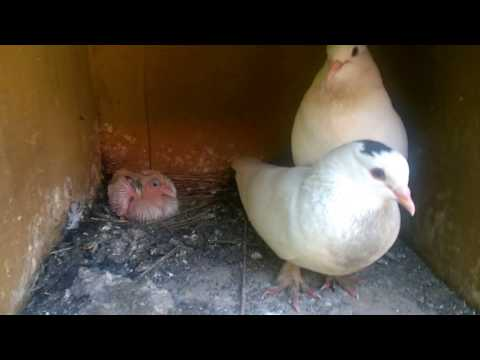 fancy pigeon I beautiful pigeons | mother pigeon
