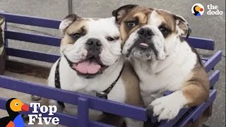Paralyzed Bulldog Puppy Has THE Best Family Now + Dogs Transformed by Love  | The Dodo Top 5