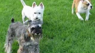 白い犬に好かれたシュナウザー。 積極的な白い犬に追いかけられて戸惑っ...