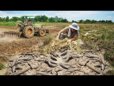 Simple Fishing Near Homeland After Tractor Prepare Soil - Catching many Fish Under Mud By fisherman