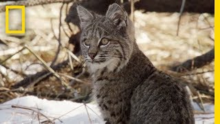 Bobcat Cubs Steal Mom's Food | National Geographic