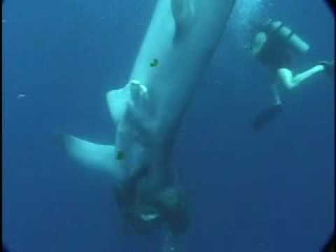 Whale Shark Rescue - Shark Research Institute