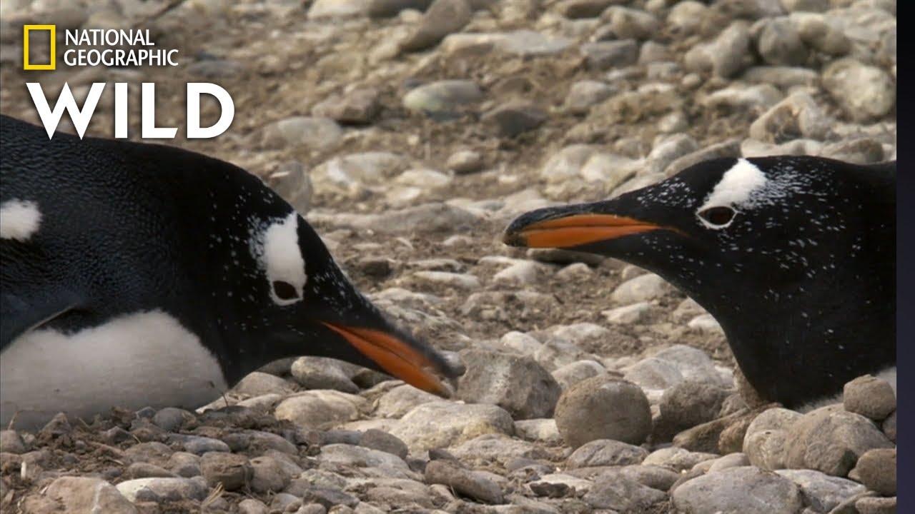 Penguins Build a Nest | Predator in Paradise