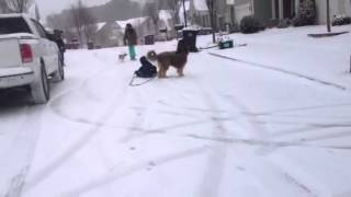 Norman the sledding dog