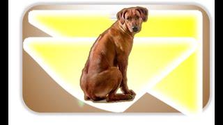 Родезийский риджбек - «львиная собака» (англ. rhodesian ridgeback ,  Lion dog )