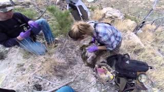 Northeastern Wyoming Bighorn Sheep Study