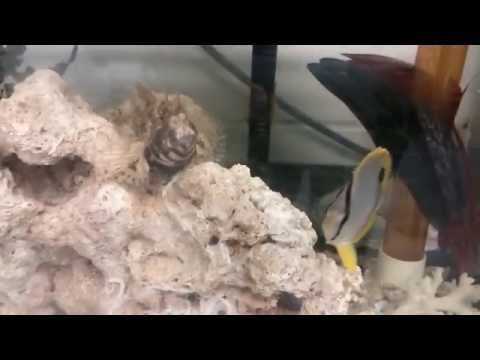 Feather Blenny and Butterfly Fish