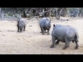 Male Rhino Versus Mother and Calf