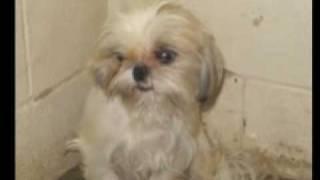 Shih Tzu - 96 Shih Tzu Rescue - Breeder Cruelty Case