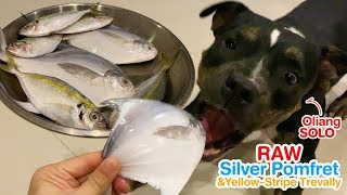 Oliang the Pit Bull VS. Silver Pomfret&Yellow-striped Trevally [ASM...