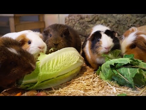 Guinea Pigs Try New Food!