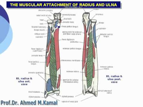 017- The muscular attachments of radius and ulna (Upper Limb) - YouTube
