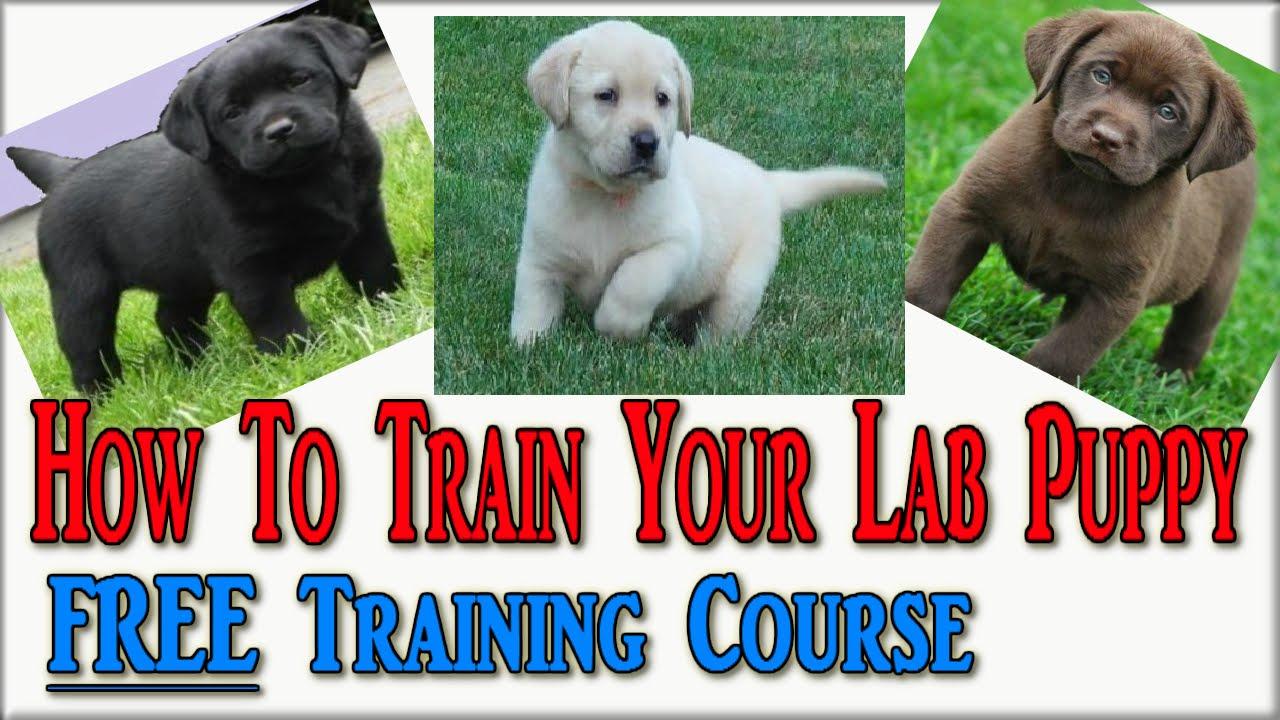 How To Train Labrador Puppies Click