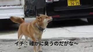 柴犬イチ Search 空間臭気をサーチ中 Shiba Inu ICHI