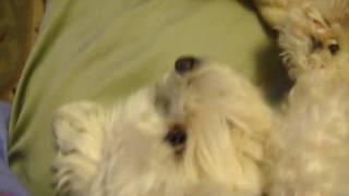 Maltese Dog - Cute, Sleepy Dog Rubbing His Eyes