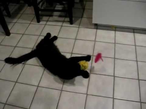 Polydactyl Cat Swats Petmate Booda® Balancing Ball - ラグドール - Floppycats