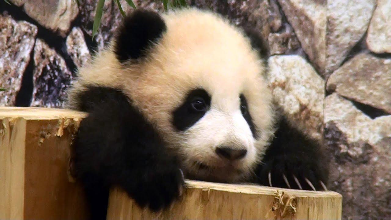 High Definition Animal Wallpapers Cute Panda Baby パンダ 優浜 アドベンチャーワールド Youtube