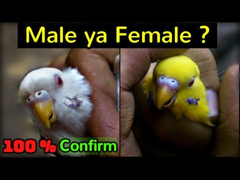 FALLOW BUDGIES ma Male or Female ka 100% Farak